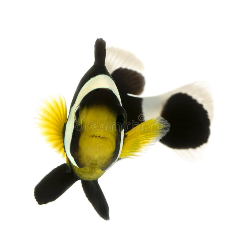 Saddleback clownfish - Amphiprion polymnus stock images