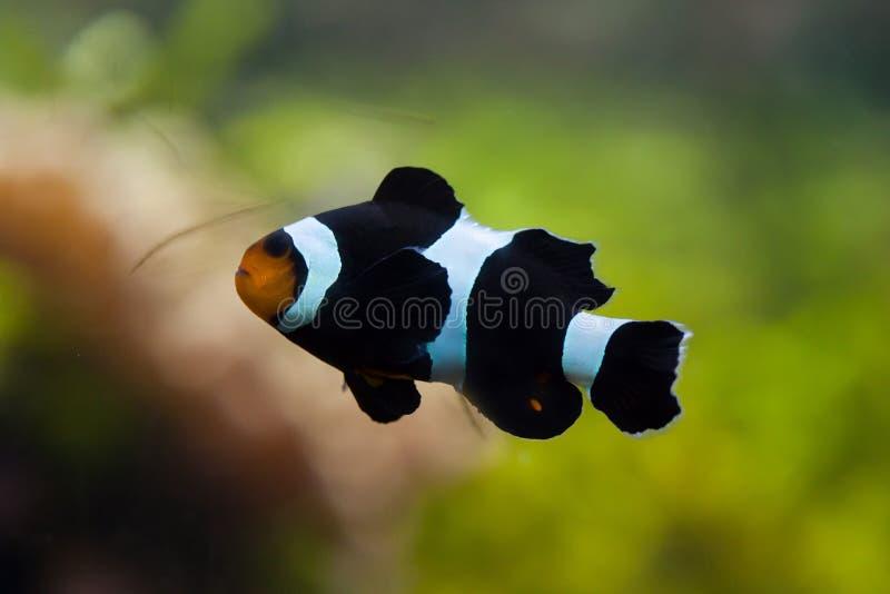 Saddleback clownfish Amphiprion polymnus. Marine fish stock photography