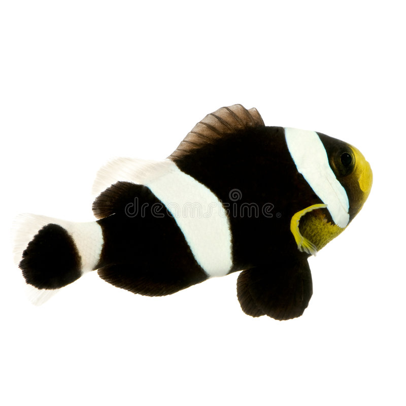 saddleback för amphiprionclownfishpolymnus arkivfoto