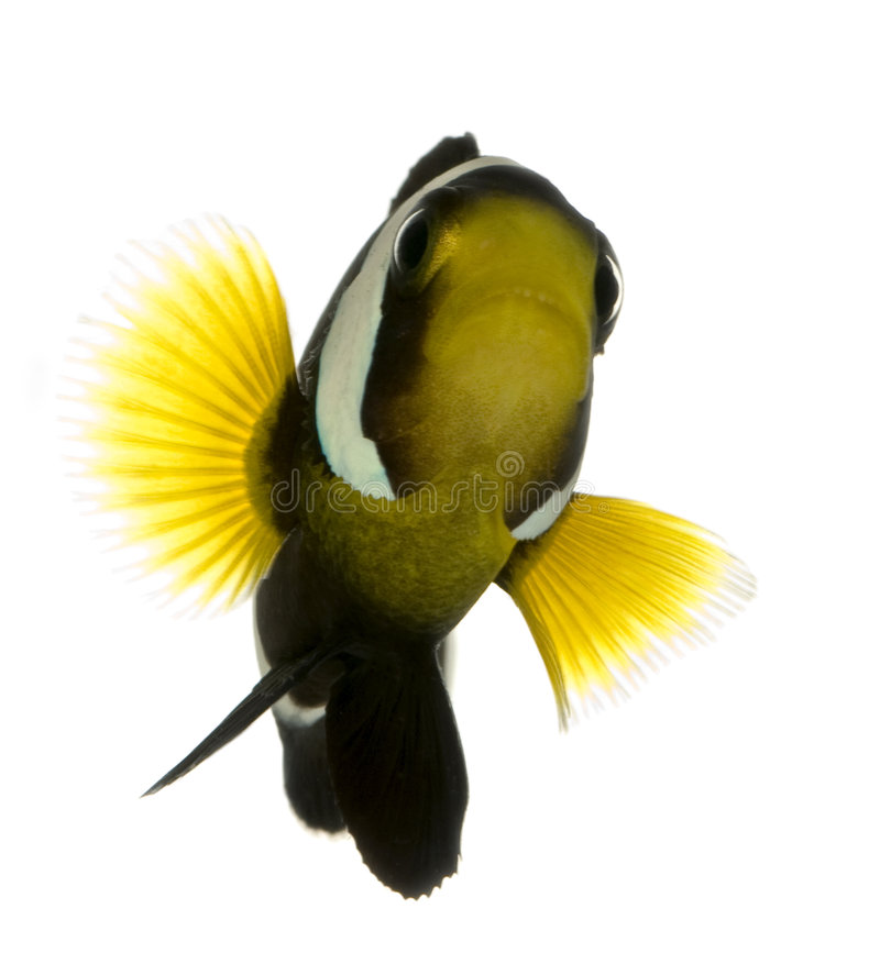 saddleback polymnus amphiprion clownfish στοκ εικόνα με δικαίωμα ελεύθερης χρήσης