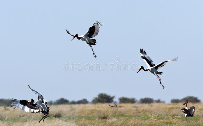 Download Saddlebilled Stork - Botswana Stock Photo - Image: 14908726