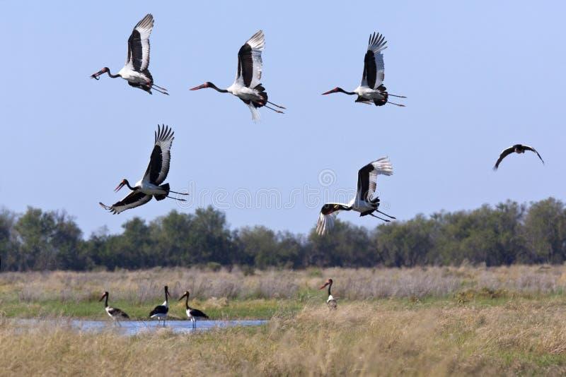 Saddlebilled Storks - Okavango - Botswana royalty free stock photos