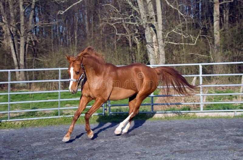 saddlebred arabska końska mieszanka obrazy royalty free
