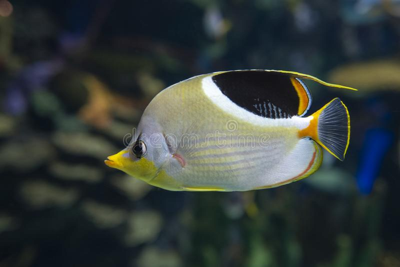 A Saddled Butterflyfish, Chaetodon ephippium - coral fish,. Detail royalty free stock image
