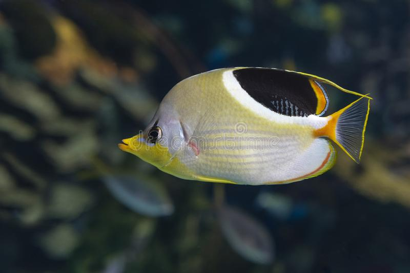 A Saddled Butterflyfish, Chaetodon ephippium - coral fish,. Detail royalty free stock photo
