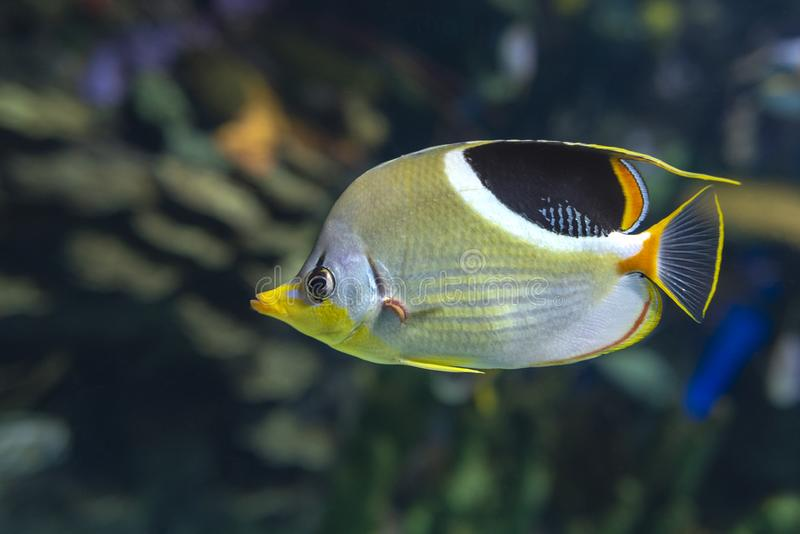 A Saddled Butterflyfish, Chaetodon ephippium - coral fish,. Detail stock photography