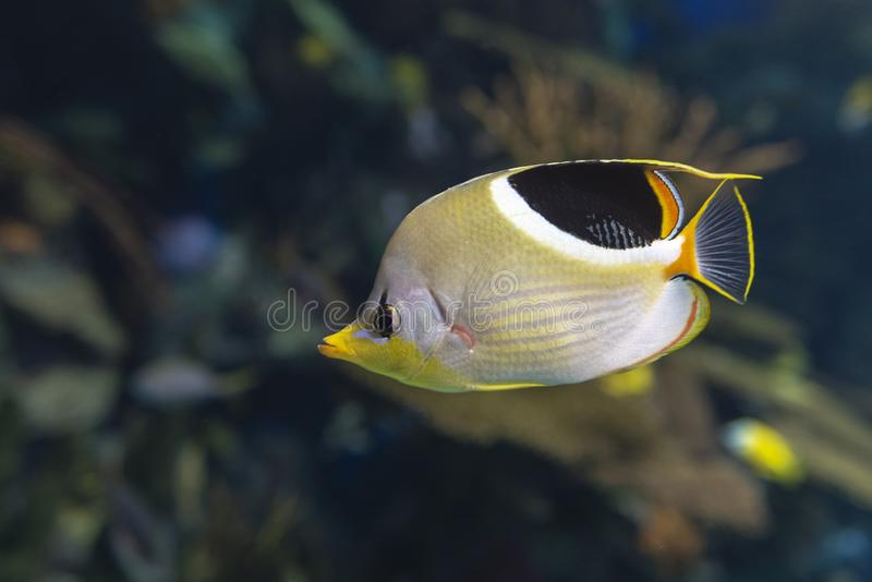 A Saddled Butterflyfish, Chaetodon ephippium - coral fish,. Detail stock images