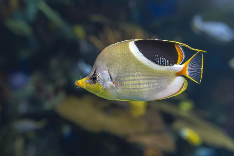 A Saddled Butterflyfish, Chaetodon ephippium - coral fish,. Detail stock image