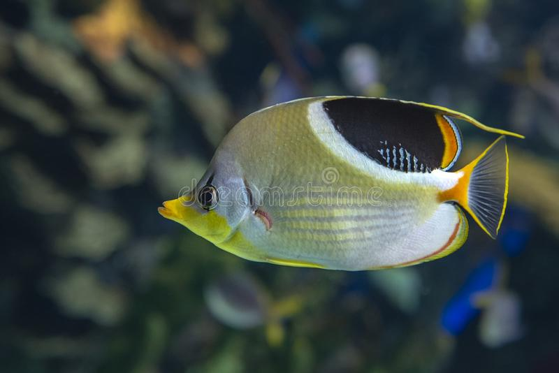 A Saddled Butterflyfish, Chaetodon ephippium - coral fish,. Detail royalty free stock photography