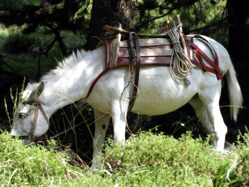 Saddled white horse royalty free stock photography