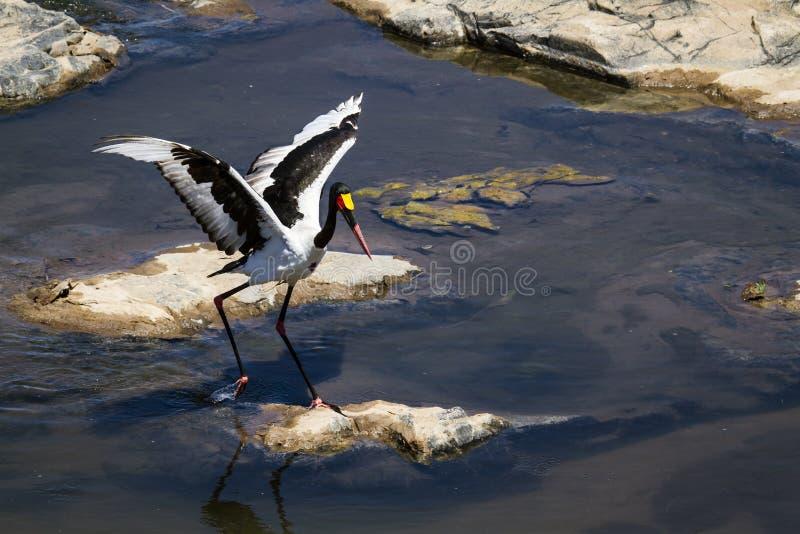 Sadel-fakturerad stork i den Kruger nationalparken royaltyfria bilder