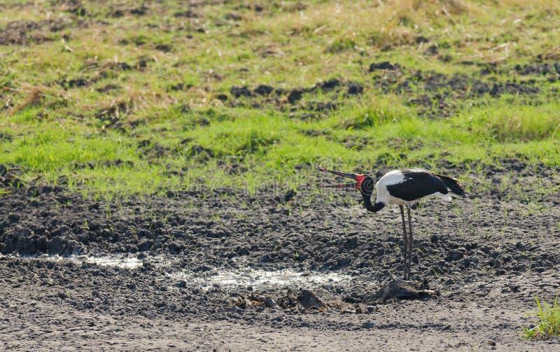 Sadel-fakturerad storkEphippiorhynchussenegalensis arkivbilder
