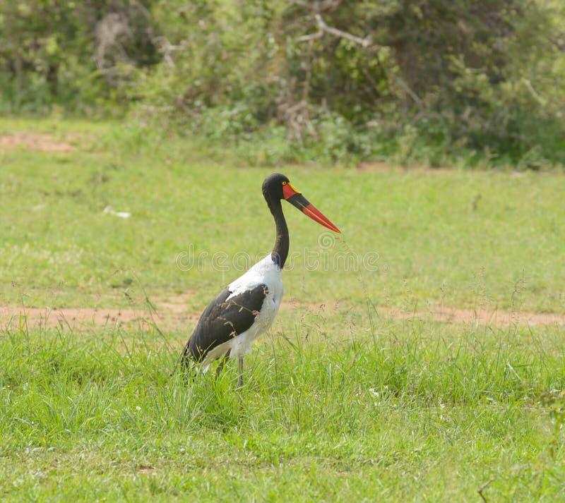 Sadel-fakturerad storkEphoppiofhynchus senegalensis arkivbild