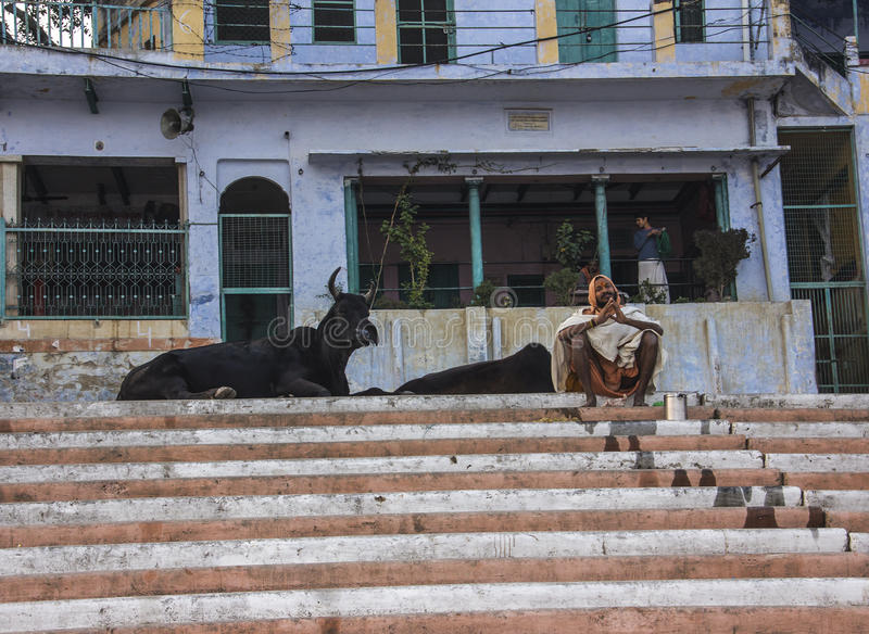 Sadhu e mucche a Varanasi immagine stock libera da diritti