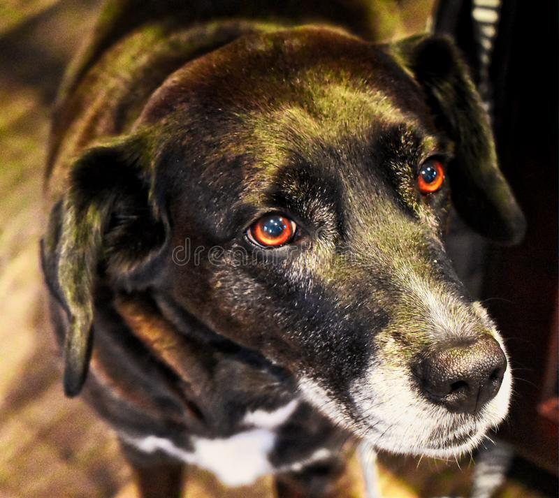 Sadie,一个黑实验室,博德牧羊犬混合抢救狗 库存照片
