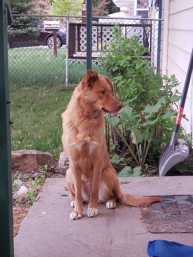 Sadie собака стоковая фотография rf