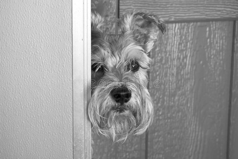 Sadie, the Curios Schnauzer stock photo