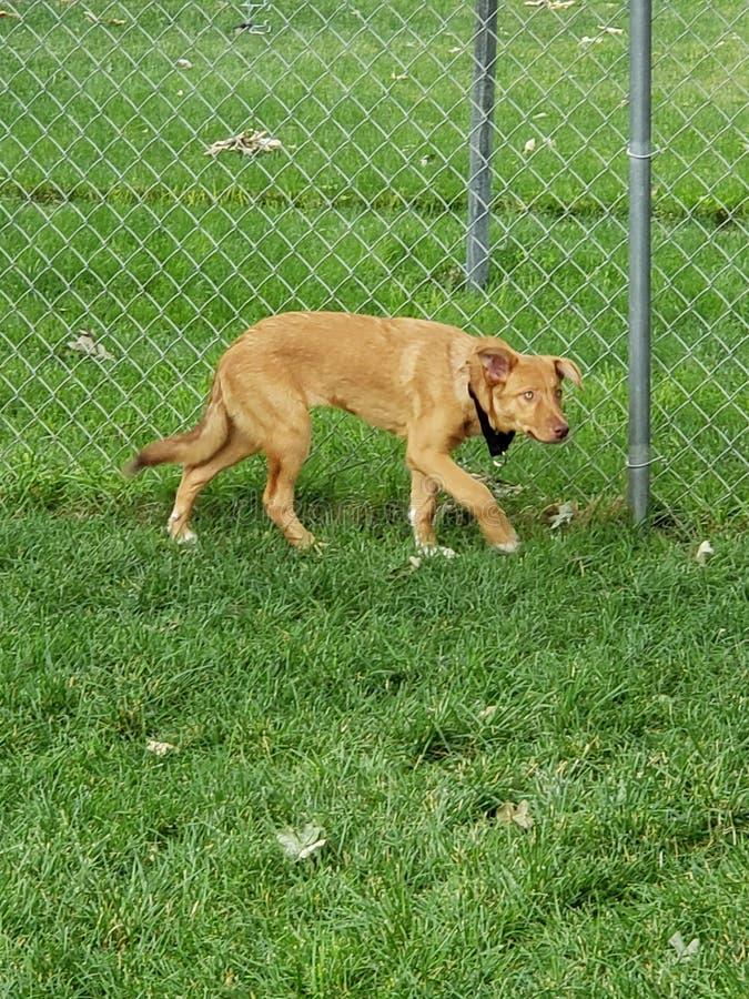 Sadie il cane fotografie stock libere da diritti