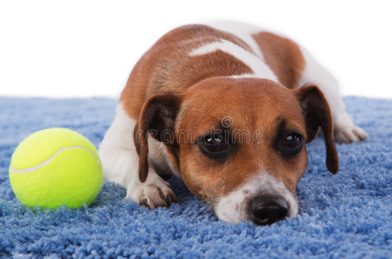 Sadness. Jack Russell terrier dog sad lying on a blue rug on a white background royalty free stock images