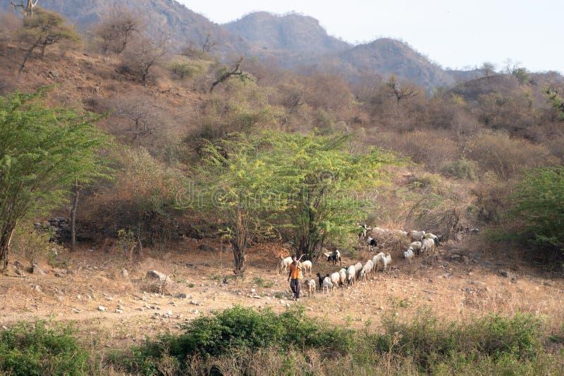 Sadri/India-13 07 2019: El pastor indio y sus animales fotografía de archivo libre de regalías