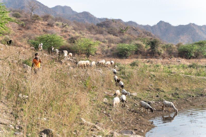 Sadri/India-13 07 2019: El pastor indio y sus animales foto de archivo