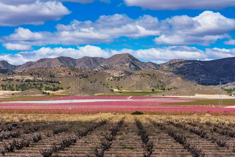 Sady w kwiacie Kwitn?? owocowi drzewa w Cieza, Murcia Hiszpania zdjęcia stock