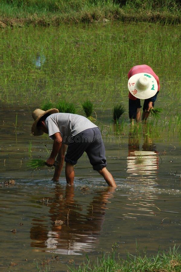 sadzenie ryżu fotografia stock