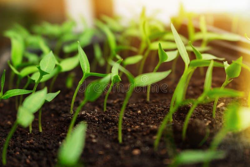 Sadzonkowy dorośnięcie w pudełkach dosięga dla olśniewającego światła słonecznego Ekologii rolniczy wiejski pojęcie obraz royalty free