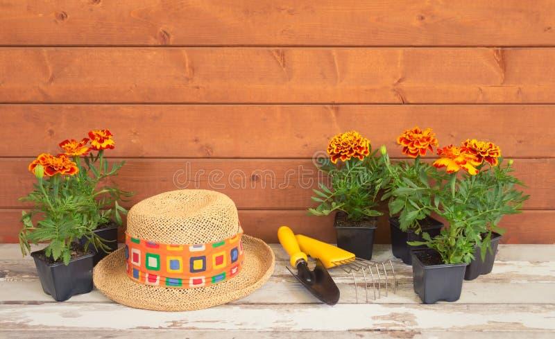 Sadzonkowy nagietek kwitnie, uprawiający ogródek narzędzia i słomianego kapelusz jako granica na drewnianym tle zdjęcie stock