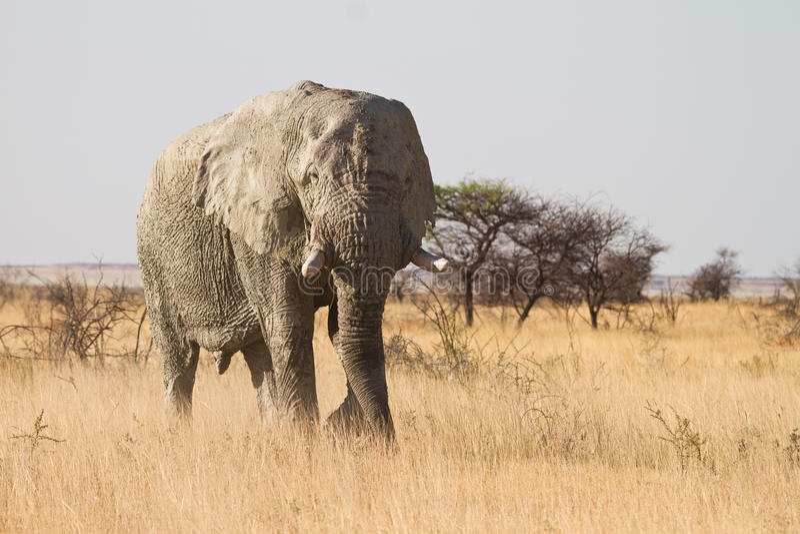 Safari photo stock