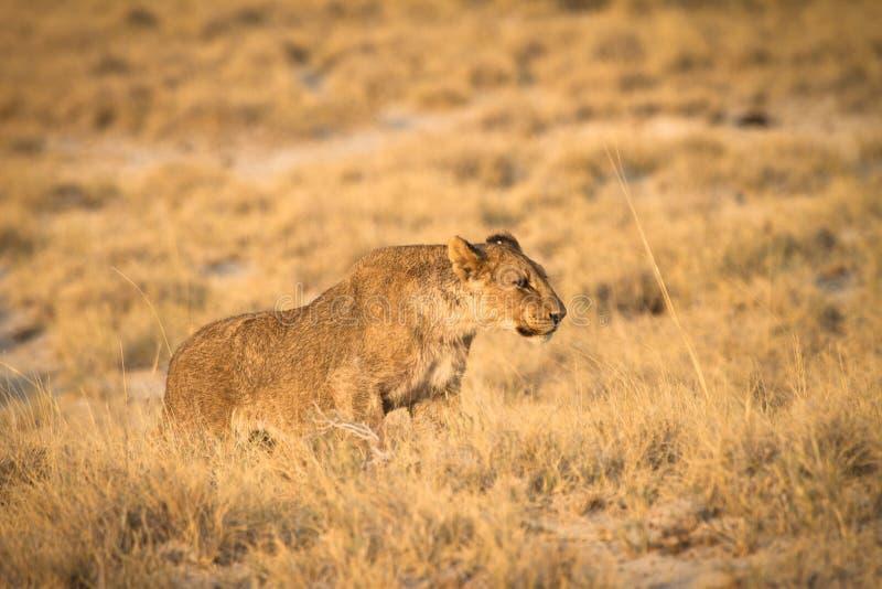Safari fotografia stock