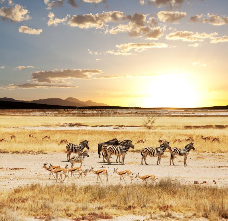 safari imágenes de archivo libres de regalías