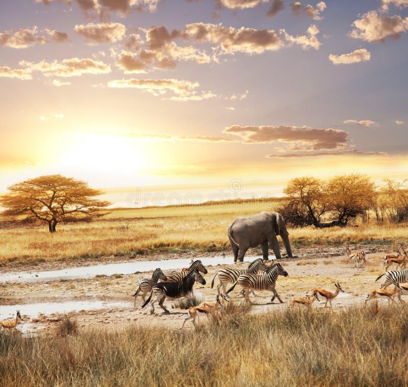 safari fotografia de stock royalty free