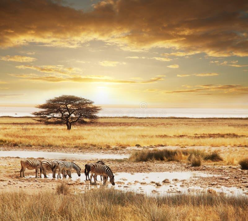 safari foto de archivo