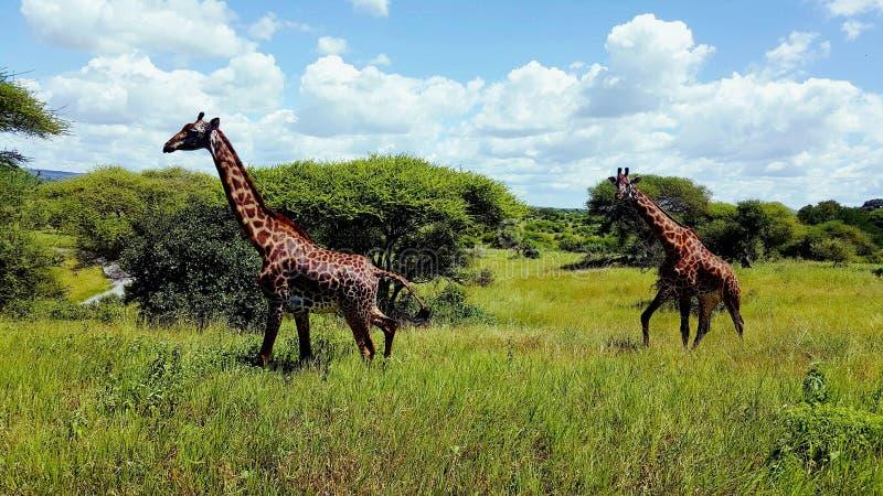 safari photos libres de droits