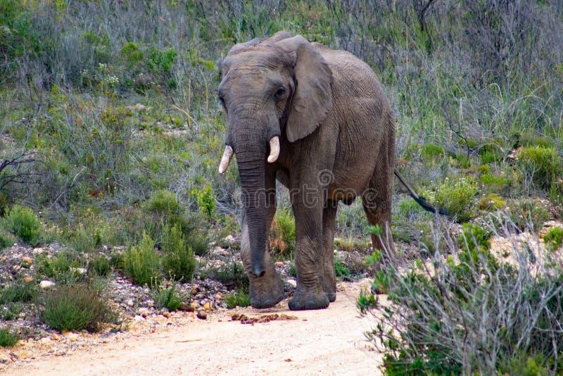 Safari adulto masculino da reserva do jogo do elefante em privado em ?frica do Sul imagens de stock