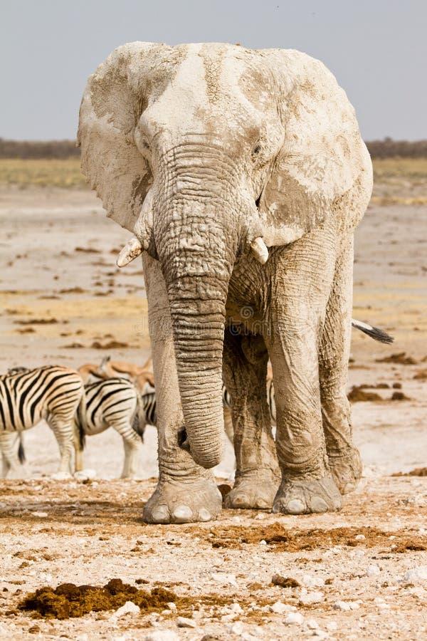 Safari Africa fotografie stock