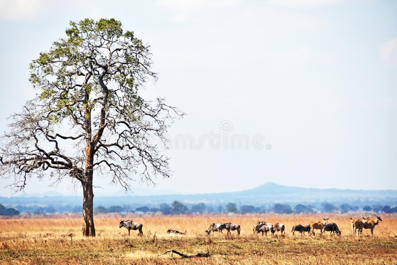 Safari africano fotografía de archivo