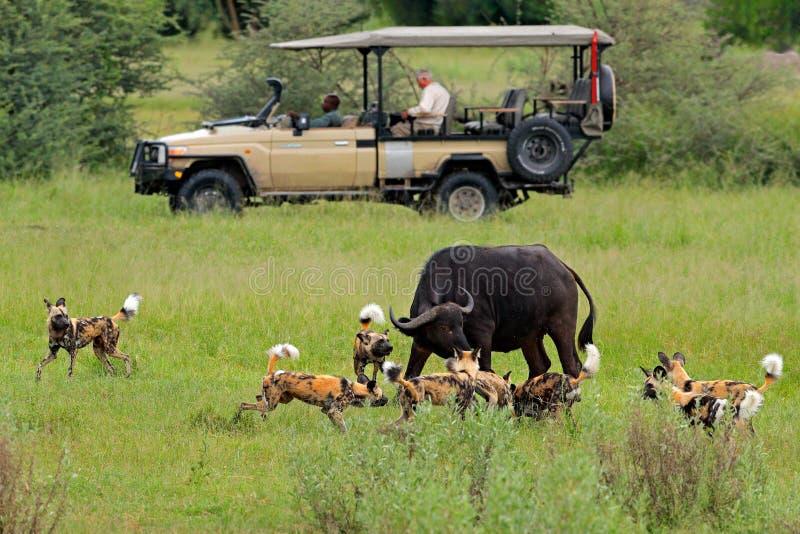 Safari africano, carro com amantes de natureza Caça do cão selvagem em Botswana, na vaca do búfalo e na vitela com predador Cena  foto de stock royalty free