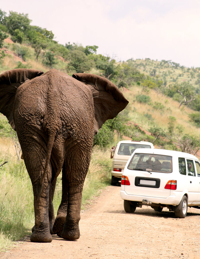 Safari africano. Elefante imagens de stock
