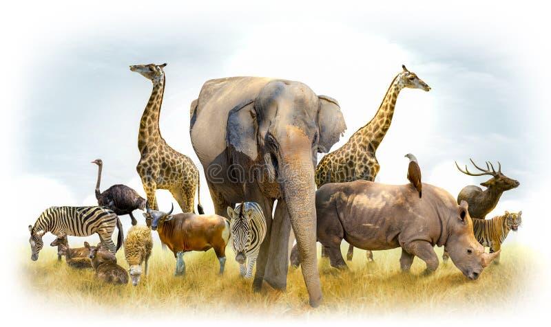 Safari africano y animales asiáticos en el ejemplo del tema, llenado de muchos animales, una imagen blanca de la frontera imágenes de archivo libres de regalías