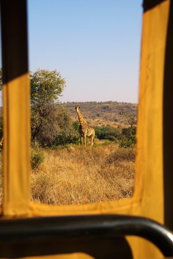 Safari Afrika stock fotografie