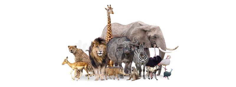 Safari Animals Together Isolated Banner foto de stock