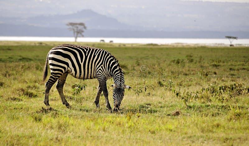 Safari au Kenya photos stock