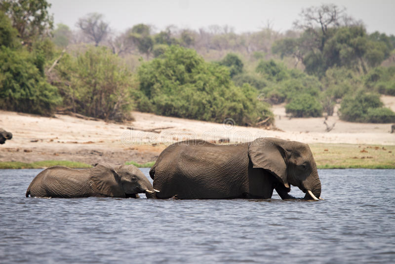 Safari Botswana imagen de archivo