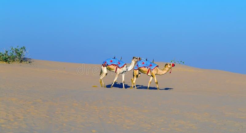 Safari campo a través del desierto de los camellos imagen de archivo libre de regalías