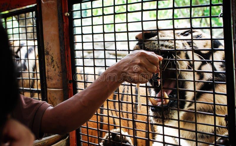 Safari Close Encounters royalty free stock images