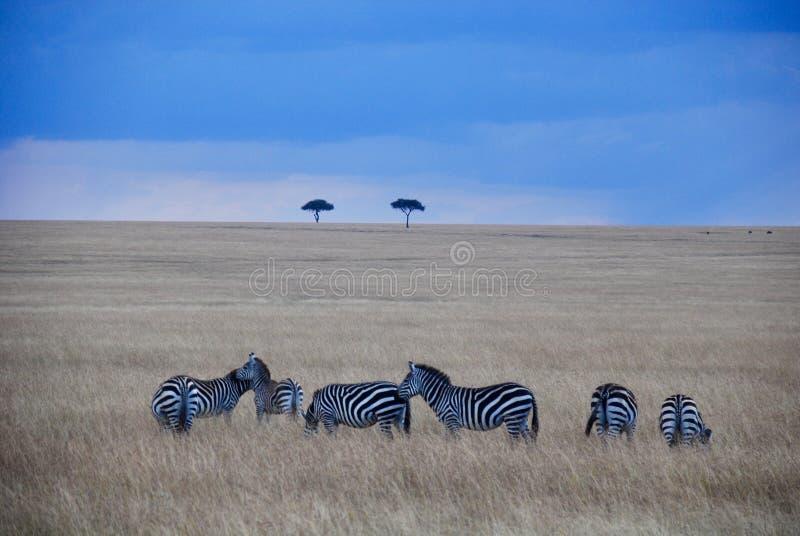 Safari con Zebra's immagine stock libera da diritti
