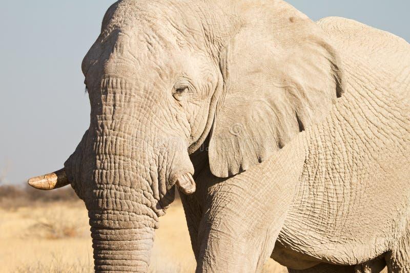 Safari de África foto de archivo