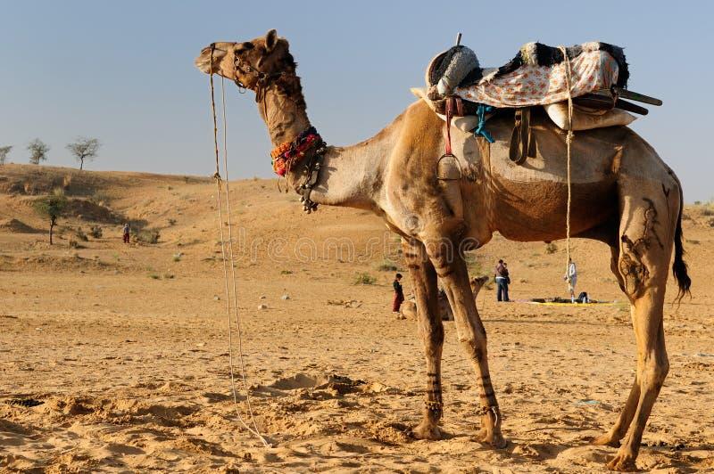 Safari de chameau images libres de droits